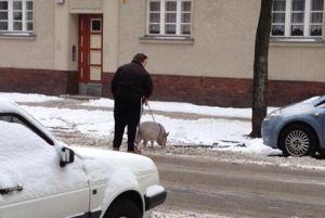 Hausschwein (C) Kai Sören Schlüter