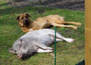Hausschwein (C) Pamela Herhold