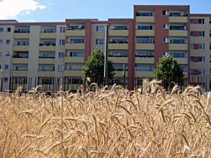 Das Getreidefeld, im Hintergrund die Häuser des Brunnenviertels. Foto: Hensel