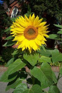 Pflanzt Sonnenblumen. Foto Uwe H. Friese/Wikipedia